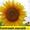 Соняшникове насіння гібриду  – Сонячний настрій стійкий  до Гранстару #1518554