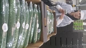 продаем огурцы из Испании - Изображение #4, Объявление #1406262