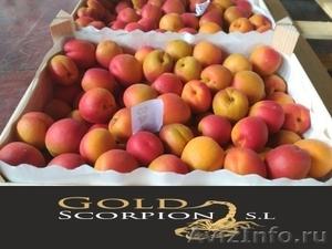 Продаем абрикос из Исапнии - Изображение #2, Объявление #1406259