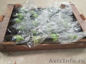 продаем баклажаны из Испании - Изображение #3, Объявление #1337547
