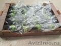 продаем баклажаны из Испании - Изображение #2, Объявление #1337547