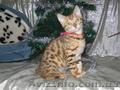 Бенальские котята   (лучший подарок к Новому году)