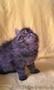 Котята персы  экстремалы породные