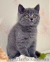 Британские котята в Черновцах