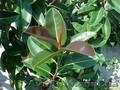 Фикус вазон - большое роскошное дерево