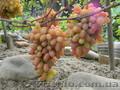 Черенки (чубуки) винограда - Изображение #2, Объявление #1207686