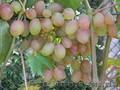 Черенки (чубуки) винограда - Изображение #3, Объявление #1207686