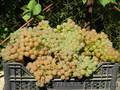 Черенки (чубуки) винограда - Изображение #4, Объявление #1207686