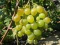 Черенки (чубуки) винограда - Изображение #5, Объявление #1207686
