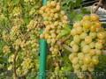 Черенки (чубуки) винограда