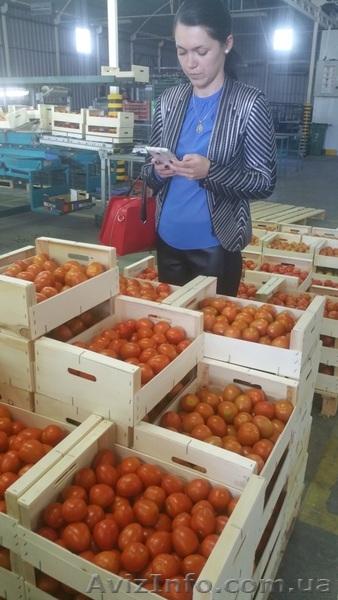 продаем томаты из Испании, Объявление #1337546