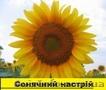 Соняшникове насіння гібриду  – Сонячний настрій стійкий  до Гранстару